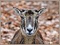Wildschaf - -----Mufflon (39033239870).jpg