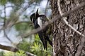 Williamson's Sapsucker (male) Forest Rd 42 Loop Chiricahuas Portal AZ-84 (35036985004).jpg