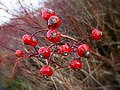 Winter hedgerow fruits - geograph.org.uk - 309348.jpg