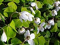 Wood-sorrel (Oxalis acetosella), Coppice Hoop, Penn (27261227543).jpg