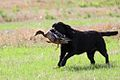 Working labrador retriever hunting duck.jpg