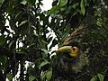 Wreathed Hornbill about the emerge from the nest cavity 02.jpg