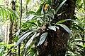 Xylobium leontoglossum (30085891236).jpg