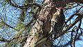 Yellow-bellied Sapsucker (8401968651).jpg