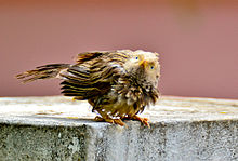 Yellow-billed Babbler (Turdoides affinis) in Tirunelveli, India.jpg