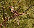 Yellow-billed Hornbill, Ethiopia (21486481994).jpg