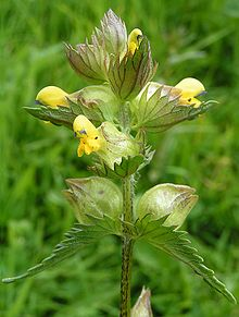 Yellow-rattle close 700.jpg