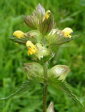 "Bract - Papery (upper) and leafy bracts on hay rattle (Rhinanthus minor).  All the ""leaves"" in this image are bracts."
