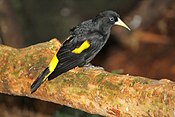 Yellow-rumped cacique 10.jpg