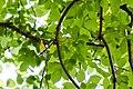 Yellow-throated vireo (47883270081).jpg