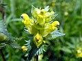 Yellow Rattle (Rhinanthus minor) (17925002250).jpg