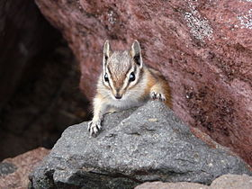 Yellow pine chipmonk 2008.JPG