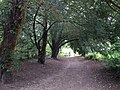 Yew walk, Chipstead Downs - geograph.org.uk - 583762.jpg