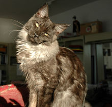 Young Blacksmoke Maine Coon Male cat.jpg