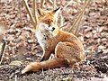 Young Red Fox sitting.jpg