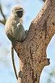 Young vervet monkey (29650315317).jpg