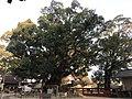 Yubuta no Mori Camphor Tree in Umi Hachiman Shrine 3.jpg