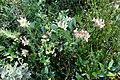 Zakynthos flora (35087803973).jpg