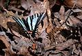 Zebra Swallowtail (5691054502).jpg