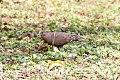 Zenaida Dove (Zenaida aurita) (8082118810).jpg