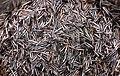 Ziziania aquatica - зерна черного (дикого) риса.jpg