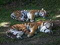Zoo Landau Sibirischer Tiger.JPG