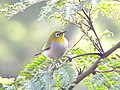Zosterops japonicus - Small Friend.jpg