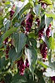 'Leycesteria formosa' Pheasant Berry Henham Essex England.jpg