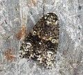(2291) The Coronet (Craniophora ligustri) (7874033548).jpg