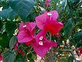 (Bougainvillea glabra) at Bakkannapalem.JPG