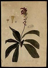 (Verbenaceae)