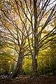 Árboles del Montseny.jpg