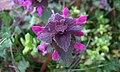 Škrlatnordeča mrtva kopriva (Lamium purpureum).jpg