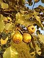 Дива круша – плодове.jpg