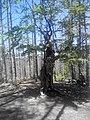 Дърво близо до върха.jpg
