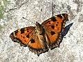 Метелик Григорівка.jpg