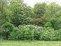 Наводницький парк Цвітіння 13.JPG