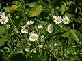 Ромашки на полі.jpg