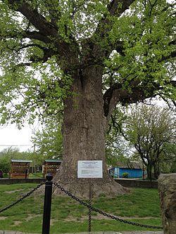 Тюльпанное дерево1.jpg