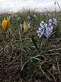 Тюльпан змеелистый и гиацинтик Палласа - Заказник Нагольный кряж.jpg