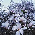 Цвітіння магнолій в ботсаду.jpg