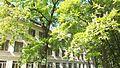 Шкільний дуб у м. Чорткові.jpg