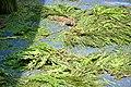 കുമ്മാട്ടി Kummattikali 2011 DSC 2562.JPG