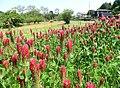 お花 - panoramio (1).jpg