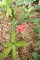 ヒメヒオウギ (Freesia laxa) (18484111143).jpg
