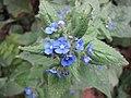 五舌草屬 Pentaglottis sempervirens -巴黎植物園 Jardin des Plantes, Paris- (9200881238).jpg