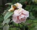 四川山茶-松花片 Camellia japonica 'Songhuapian' -上海植物園 Shanghai Botanical Garden- (16745667243).jpg