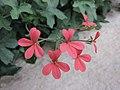 天竺葵屬 Pelargonium tongaense -英格蘭 Wisley Gardens, England- (9204818663).jpg