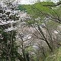弘川寺の桜 Cherry blossoms at Hirokawa-dera 2012.4.13 - panoramio (1).jpg