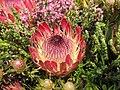 海神花 Protea Pink Ice -香港花展 Hong Kong Flower Show- (9207616104).jpg